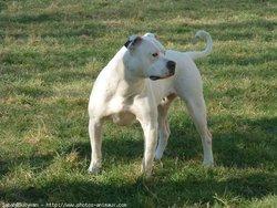 Chelby, chien Bulldog