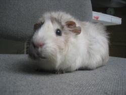 Yuki, rongeur Cochon d'Inde