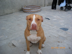 Lady, chien American Staffordshire Terrier