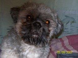 Léon, chien Shih Tzu
