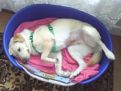 Hermine, chien Labrador Retriever