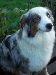 Delice, chien Berger australien
