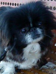 Romina, chien Pékinois