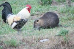 Herve, rongeur Rat