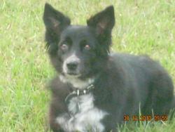 Angie, chien Border Collie