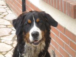 Djino, chien Bouvier bernois