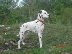 Fiasco, chien Dalmatien