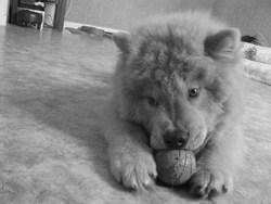 Fiasko, chien Chow-Chow