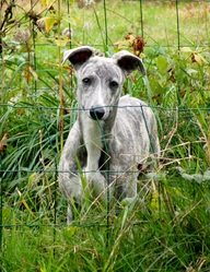 Fiat Lux, chien Whippet