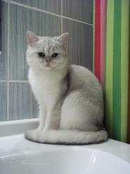 Fibby, chat British Shorthair