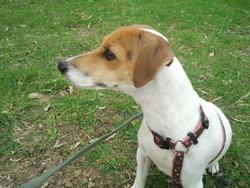 Fibee, chien Jack Russell Terrier