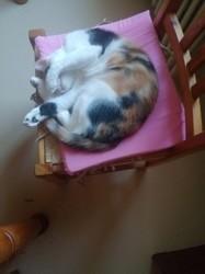 Fibelle, chaton Européen