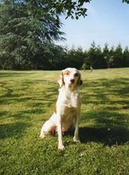 Fibhie, chien Épagneul breton
