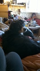 Fibie, chien Berger australien