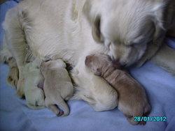 Fibie, chien Golden Retriever