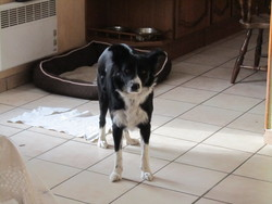 Fibie , chien Border Collie