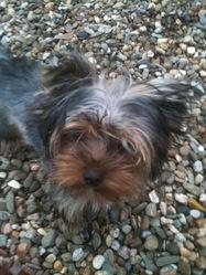 Fibie, chien Yorkshire Terrier