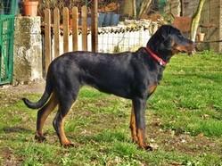 Fibule Des Enfants De Chamane, chien Beauceron