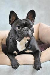 Fibull, chien Bouledogue français