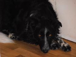 Fiby, chien Border Collie