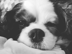 Fiby, chien Cavalier King Charles Spaniel