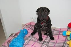 Fiby, chien Shar Pei