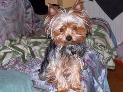 Fiby, chien Yorkshire Terrier