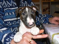 Fiby, chien Bull Terrier