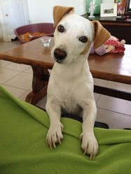 Fiby, chien Jack Russell Terrier