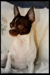 Fiby, chien Chihuahua