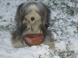 Ficelle, chien Bearded Collie