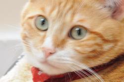 Ficelle, chat Gouttière