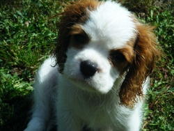 Ficelle, chien Cavalier King Charles Spaniel