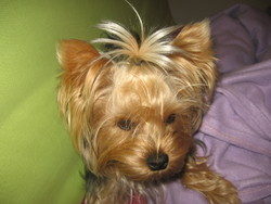 Ficelle, chien Yorkshire Terrier