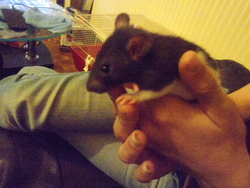 Ficelle, rongeur Rat