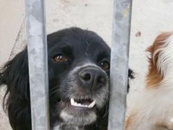 Ficelle, chien Épagneul breton