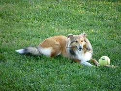 Ficky, chien Berger des Shetland