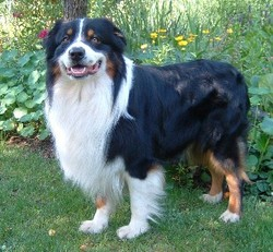 Fidele, chien Berger australien