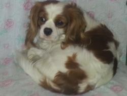 Fidélio, chien Cavalier King Charles Spaniel