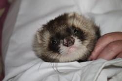 Fidgi, rongeur Furet