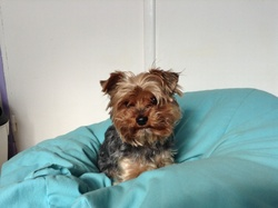 Fidgy, chien Yorkshire Terrier
