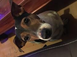 Fidgy, chien Jack Russell Terrier