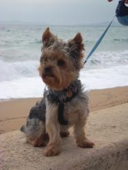 Fidgy, chien Yorkshire Terrier