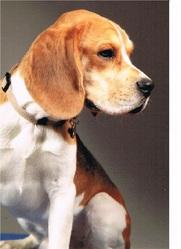 Fidgy, chien Beagle