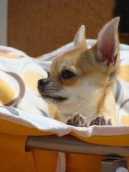 Fidjee, chien Chihuahua