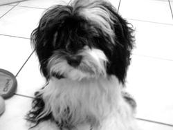 Fidji, chien Terrier tibétain