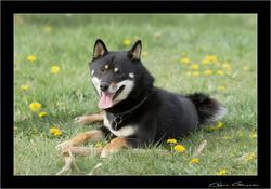Fidji, chien Shiba Inu
