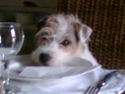 Fidji, chien Parson Russell Terrier