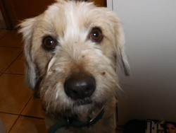 Fidji, chien Berger des Pyrénées