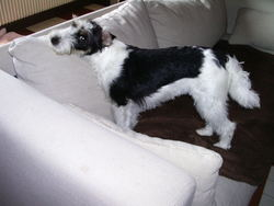 Fidji, chien Fox-Terrier
